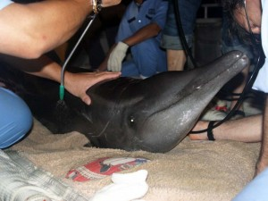 7. Stranded Rough-toothed Dolphin