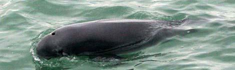 Finless Porpoises