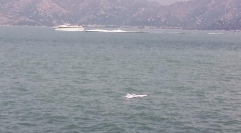 Chinese White Dolphins are touching me